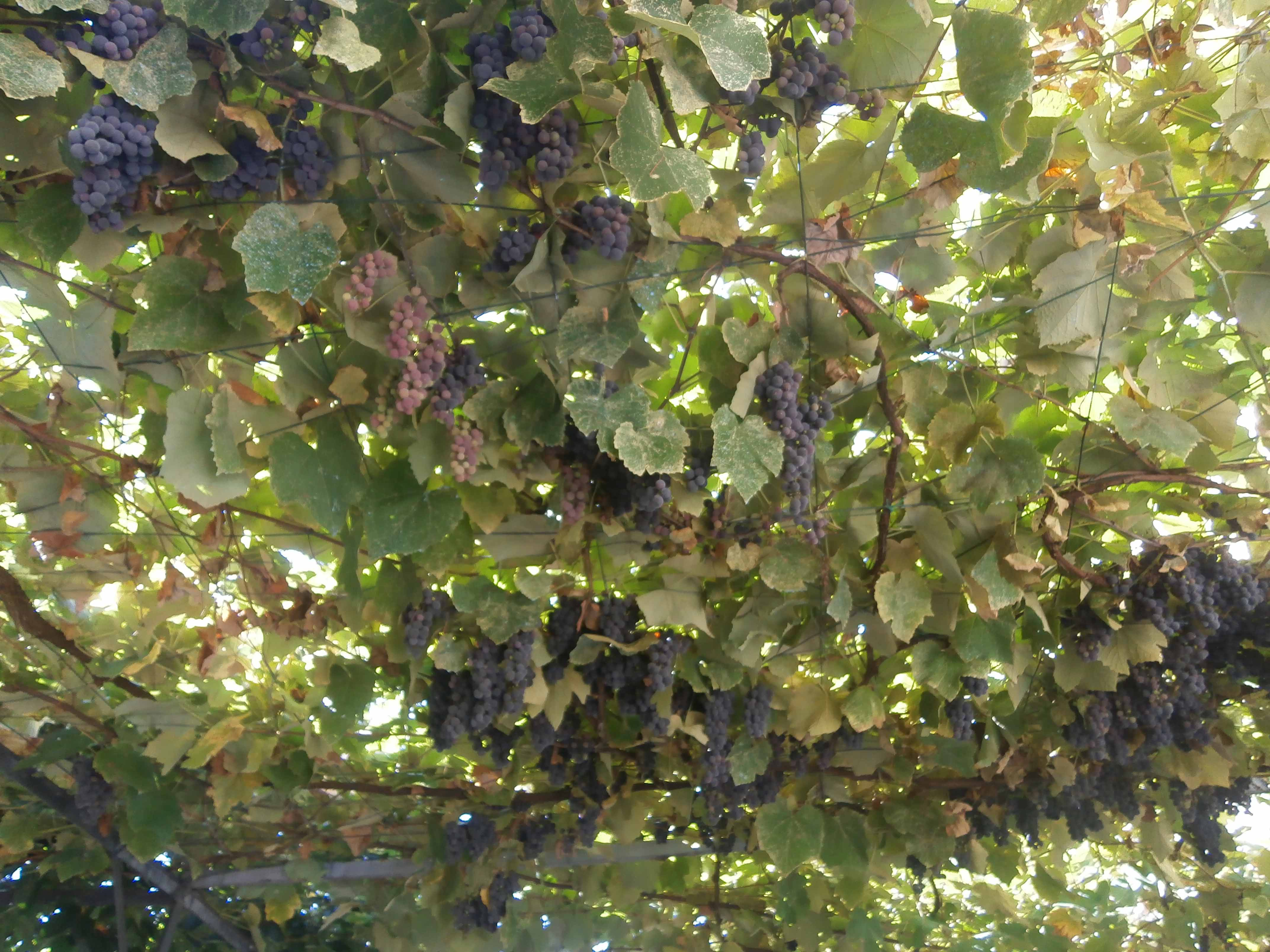 pergolato di uva fragola