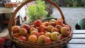 raccolto-di-mele-settembre-18
