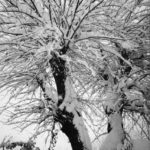 gelso-sotto-la-neve-06